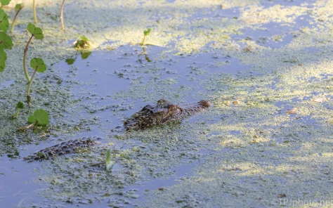 Young Alligator, Just Watching - click to enlarge