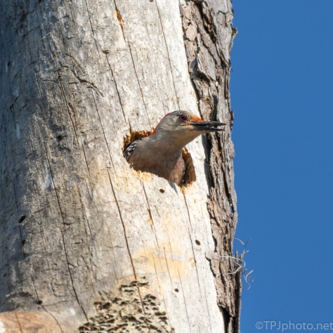 Red-bellied Woodpecker Nest - click to enlarge