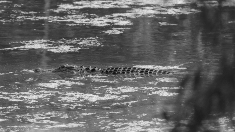 Slipping By, Alligator - click to enlarge