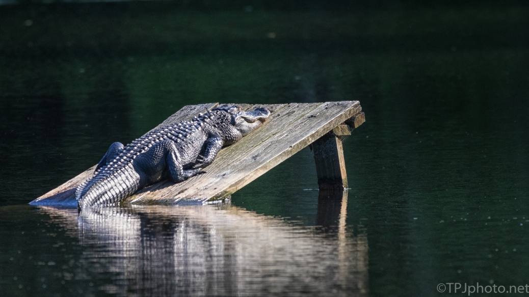 Alligator, Losing The Light - click to enlarge