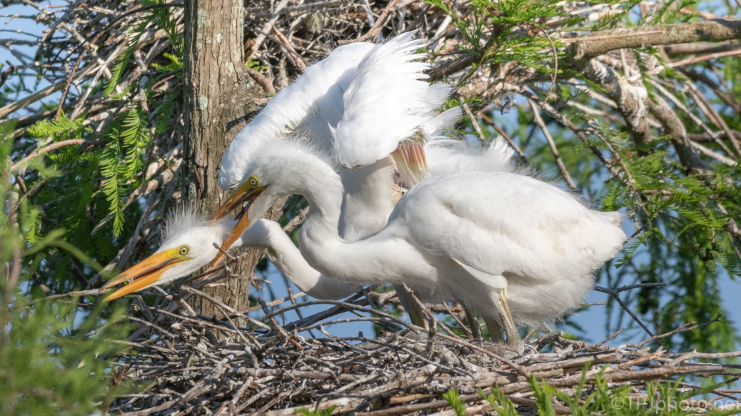 A Tame Disagreement, Egrets - click to enlarge
