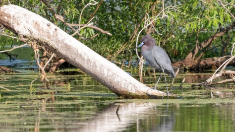 Little Blue Heron, Poor Choice To Land - click to enlarge