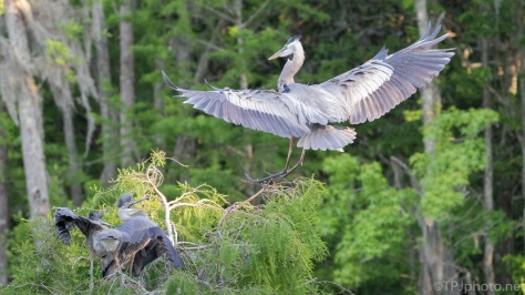 Great Blue Returning To The Nest - click to enlarge