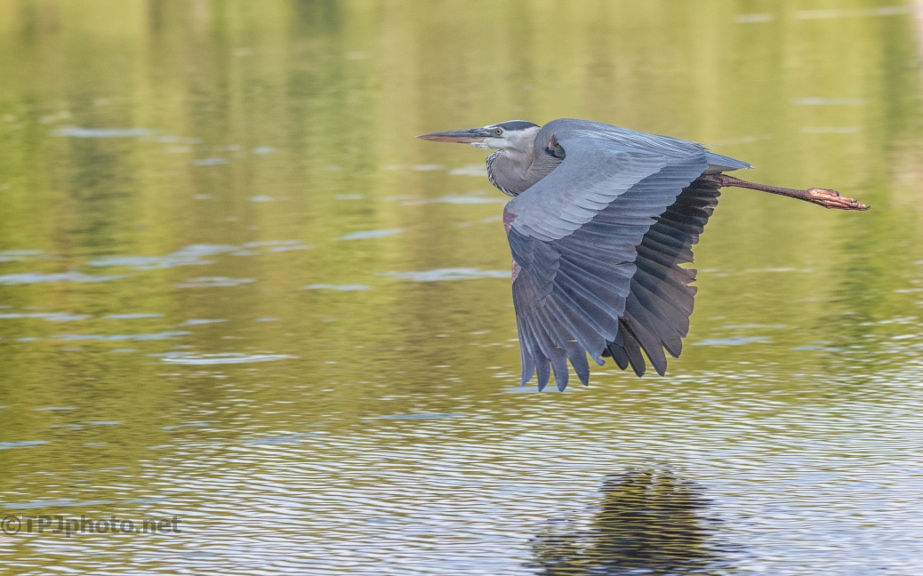 Great Blue Heron Going By - click to enlarge