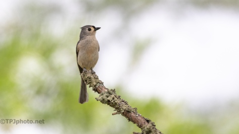 Tufted Titmouse - click to enlarge