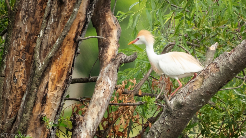 Cattle Egret, Breeding Colors - click to enlarge