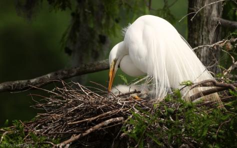 Egret, New Born - click to enlarge