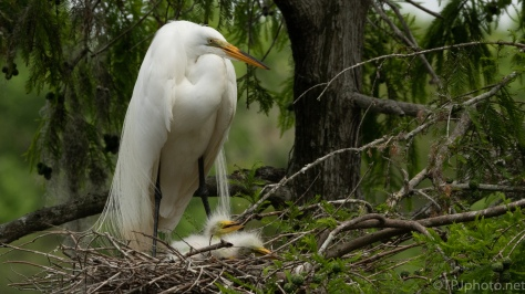 Great Egret Nests - click to enlarge