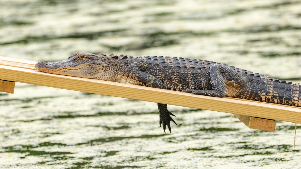 A Nice New Spot, Alligator - click to enlarge