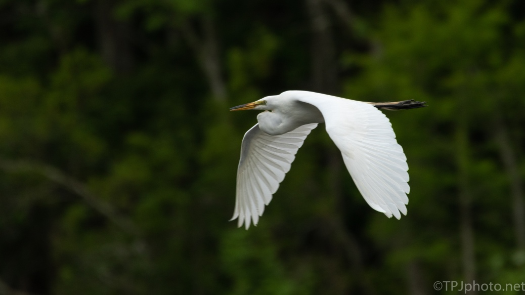 Graceful In Flight, Great Egret - click to enlarge