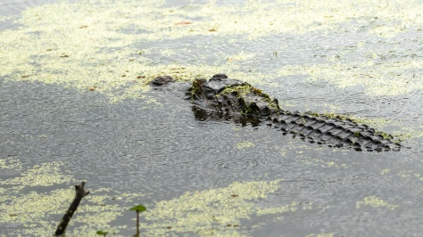 Rain Is Not Important, Alligator - click to enlarge