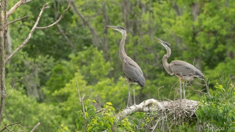 Great Blue Heron Young Watching For Adults - click to enlarge