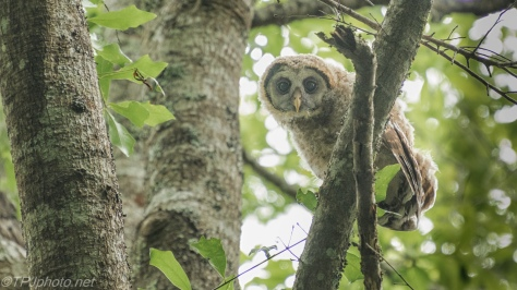 Curious Owlet - click to enlarge