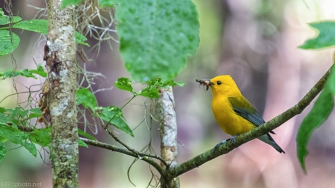 Prothonatary Warbler Catching Insects - click to enlarge