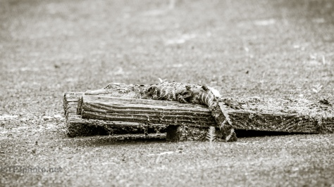 Away From The Chaos, Alligator - click to enlarge