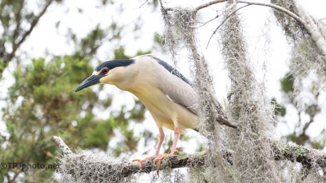 Black-crowned Night Heron, Getting The Best Spot