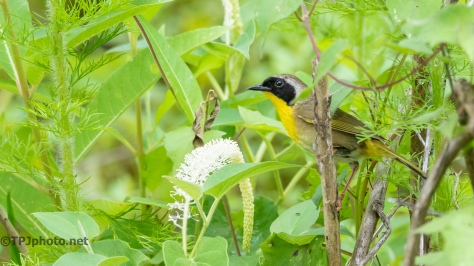 Common Yellow Throat - click to enlarge