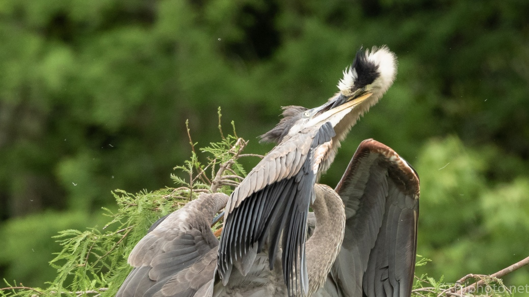 Feeding Young Is Brutal, Herons - click to enlarge