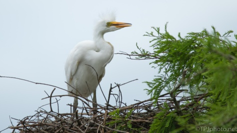Egret Chick Alone - click to enlarge