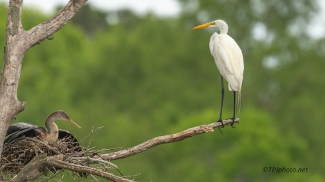 Anhinga And Great Egret - click to enlarge