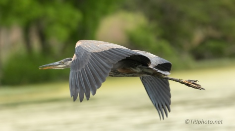 I Think I Like This Flying Thing, Heron - click to enlarge