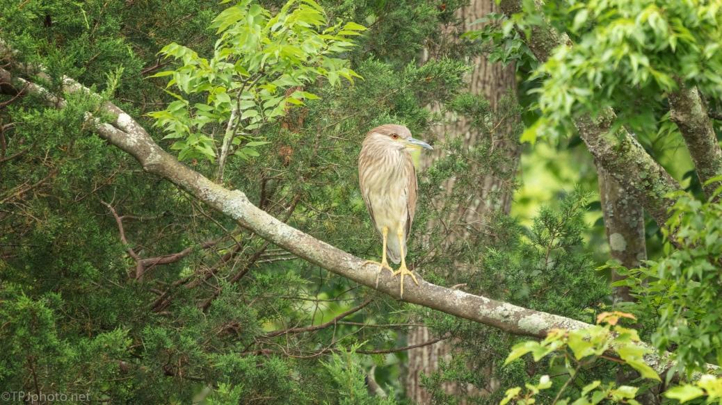 Black-crowned Night Heron, Juvenile - click to enlarge
