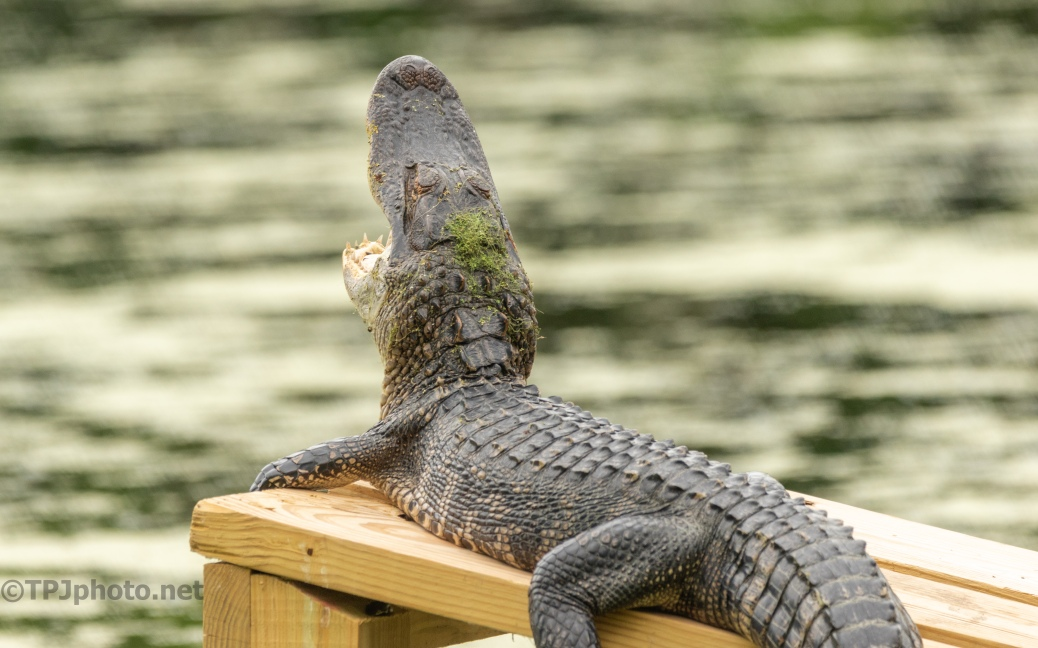 Now That's A Yawn, Alligator - click to enlarge