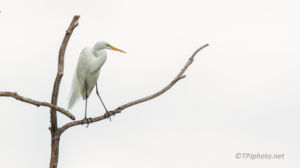 Great Egret, Perched High - click to enlarge