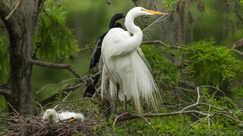 Keeping Pretty, Egret - click to enlarge