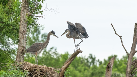 Showing His Moves, Great Blue Heron - click to enlarge