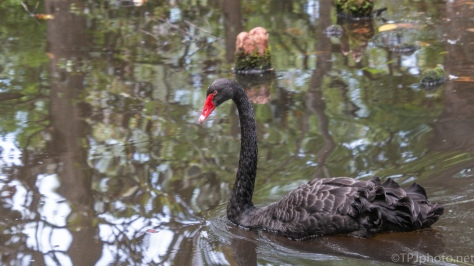 Black Swans And A Swamp - click to enlarge