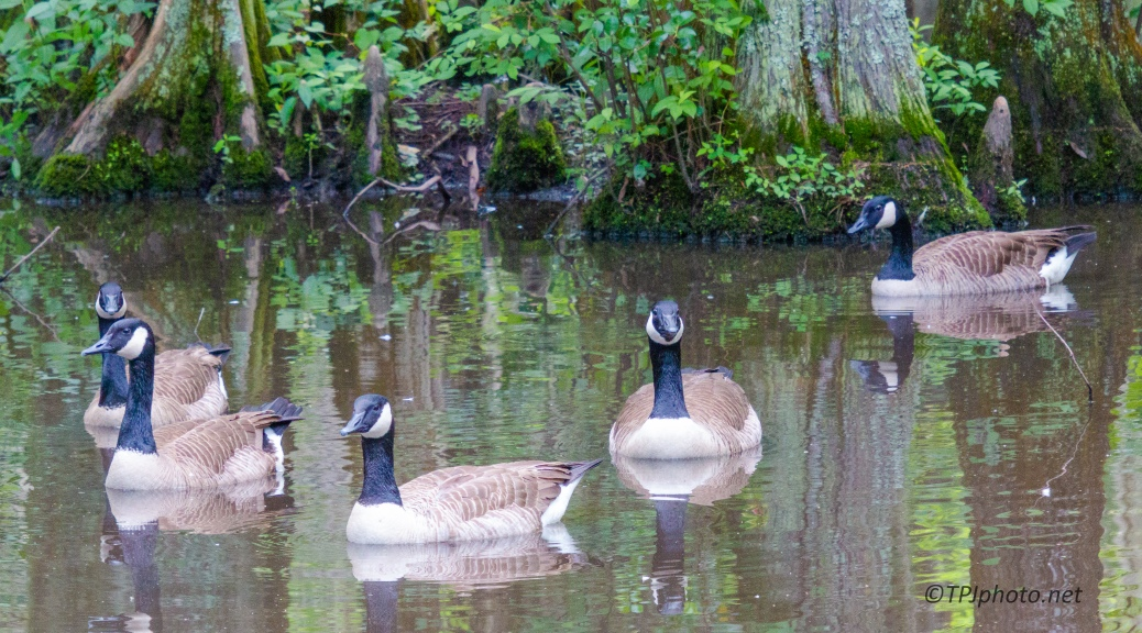 Canada Geese, Far From Home - click to enlarge