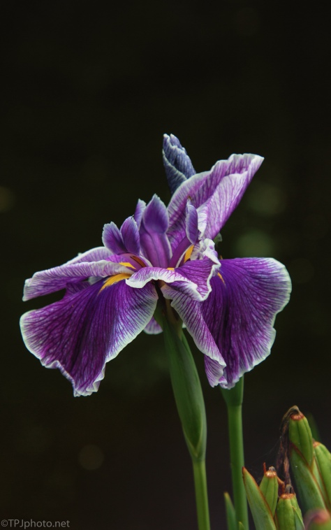 Purple Lily's - click to enlarge