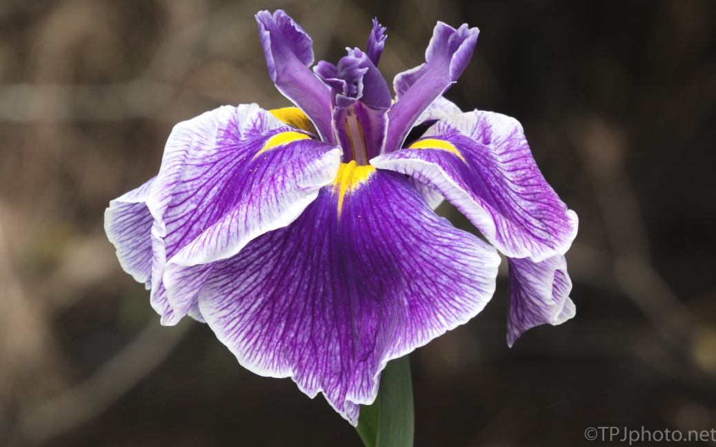 Iris In Full Bloom - click to enlarge