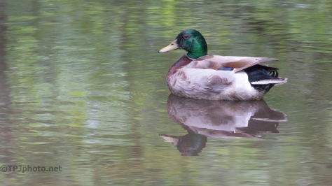 Male Mallard - click to enlarge