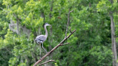 Young Heron Looking At His Big New World
