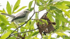 Gnatcatcher - click to enlarge