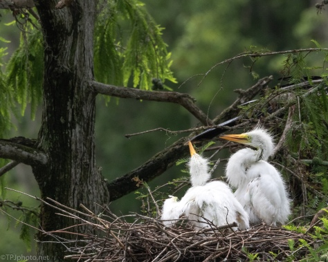 Before The Rain, Egrets - click to enlarge