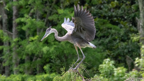 Got All The Moves, Young Heron - click to enlarge