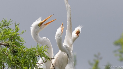 Look At Number Three, Egret - click to enlarge