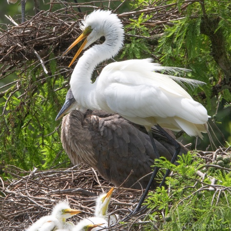 Close Quarters, Heron, Egret - click to enlarge