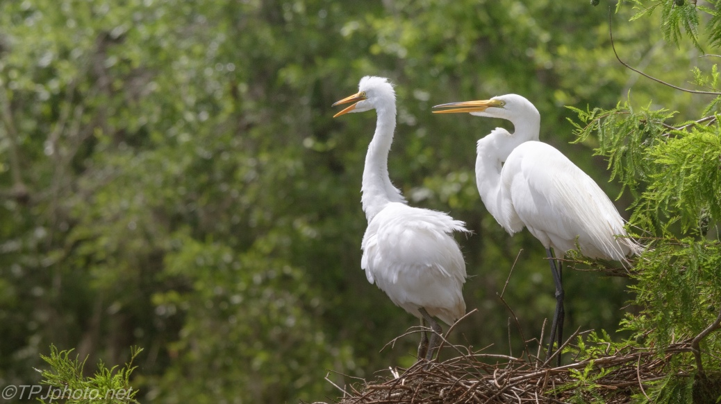 A New Generation, Egrets - click to enlarge