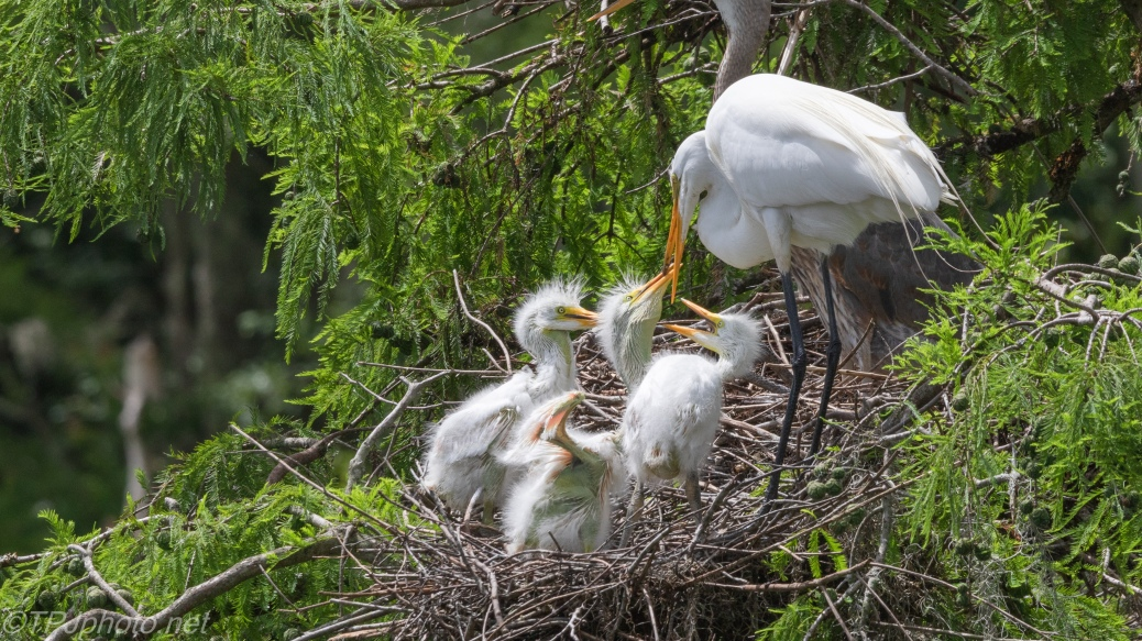 Great Egret Nest - click to enlarge