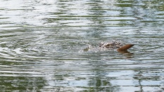 Alligators Will Eat Almost Anything - click to enlarge