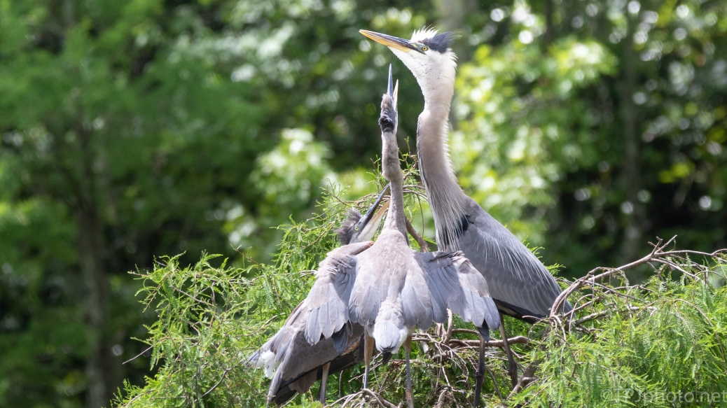 A Last Feeding, Herons - click to enlarge