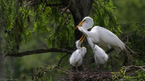 A Family Portrait, Egrets - click to enlarge