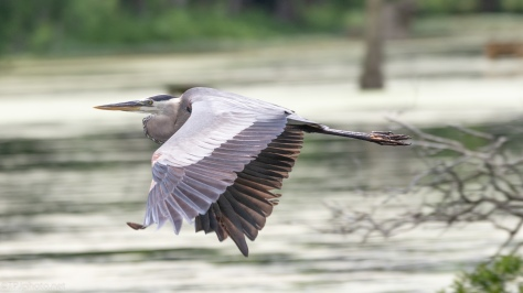 Adult Heron Moves Through A Swamp - click to enlarge