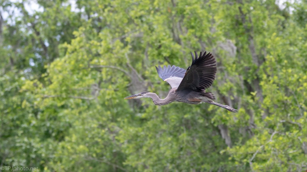 Young Great Blue Heron In Flight - click to enlarge