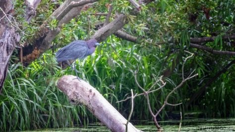 Little Blue Heron Over The Water - click to enlarge