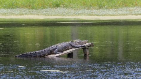A Few Gators - click to enlarge
